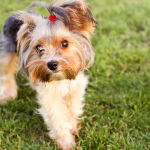 What Dogs are more Prone to Pancreatitis