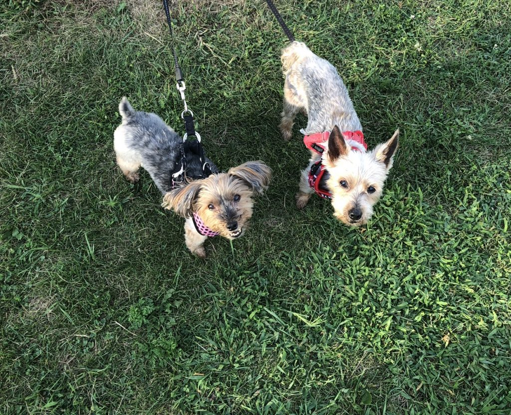 two yorkies looking up with leases on